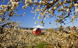 Preview wallpaper Garden of apple trees, white flowers blooming, red house