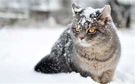 Gray cat in the snow, accompanied with snowflakes