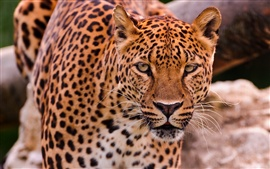 Preview wallpaper Leopard face and eyes, predator animals