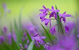 Purple bletilla flowers, blurred background