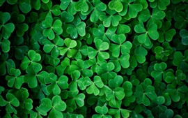 Preview wallpaper Shamrock green leaves macro photography