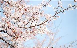 Preview wallpaper Spring pink cherry blossoms twig close-up