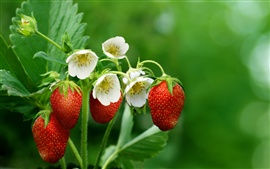 Strawberries, flowers, leaves, green background
