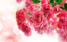 Preview wallpaper Close-up of pink carnation flowers