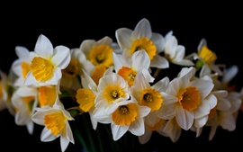 Narcisos, flores close-up, fundo preto