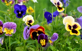 Preview wallpaper Flowers close-up, pansies