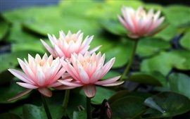 Preview wallpaper Pink water lilies, flower petals