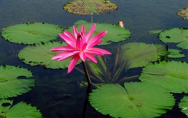 Preview wallpaper Pink water lily flower, lake water