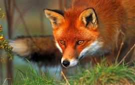 Preview wallpaper Red fox face and eyes
