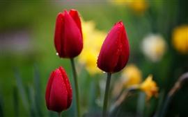 Tulipas vermelhas, flor broto, gotas da água