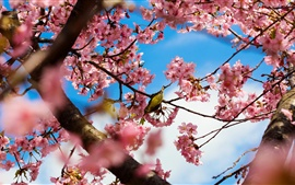 Preview wallpaper Tokyo Japan, park cherry trees, pink flowers, bird