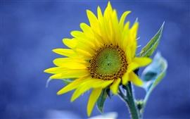 Желтый подсолнух, синий фон