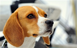 Preview wallpaper Dog, beagle close-up