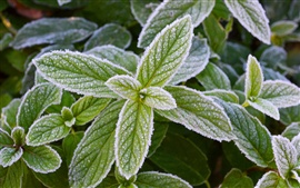 Frost green mint leaves