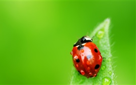 Preview wallpaper Green background, leaf, red ladybug