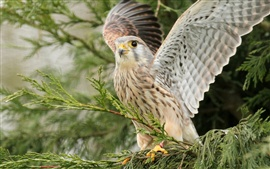 Kestrel wings open