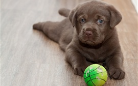 Preview wallpaper Labrador puppy, play with ball