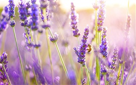 Preview wallpaper Lavender flowers, bee, sun
