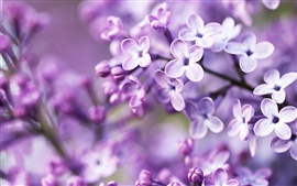 Lilac bloom, purple blurry background