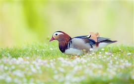 Mandarin duck in the grass, blur background