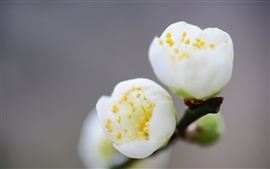 Preview wallpaper Spring white flowers macro photography