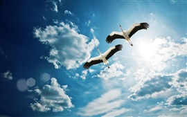 Two heron flying in the blue sky, white clouds