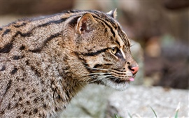 Wild cat close-up