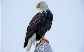 Preview wallpaper Bald eagle close-up