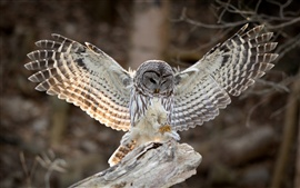 Preview wallpaper Bird photography, owl, wings, feathers