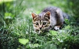 Cat, verão, grama