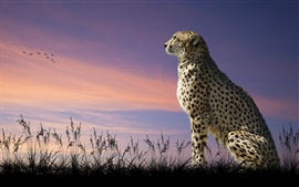 Cheetah, predador, grama, ao anoitecer, as aves