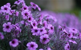 Preview wallpaper Geranium purple flowers