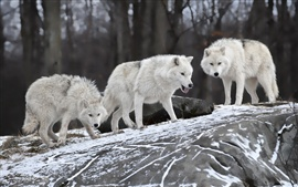 Preview wallpaper Hungry wolves in winter