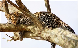 Leopard have a rest in the tree