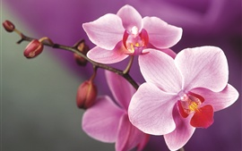 Preview wallpaper Pink orchid flowers