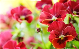 Red pansy flowers macro