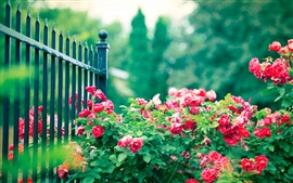Preview wallpaper Red rose flowers, iron fence