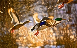 Preview wallpaper Wild duck flying, water splashing