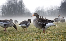 Wild geese, fog, meadow, grass, trees