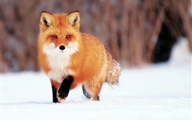 Preview wallpaper Winter snow, little fox