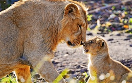 Preview wallpaper Animal photography, mother lion and cub