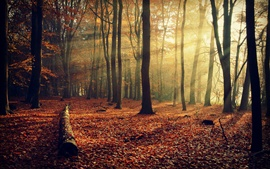 Autumn nature, forest, leaves, trees, light rays