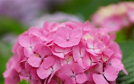 Preview wallpaper Beautiful pink hydrangea flowers