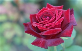 Preview wallpaper Beautiful red rose flower close-up