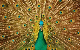 Preview wallpaper Birds close-up, peacock, beautiful tail