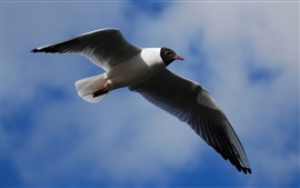 Preview wallpaper Black-headed gull, wings flap, blue sky