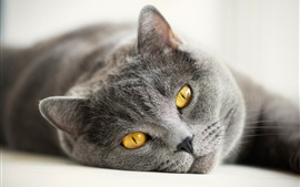 British gray cat, yellow eyes