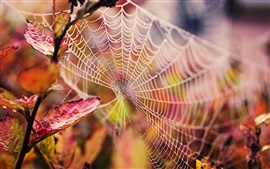 Cobweb, water drops, red leaves, autumn