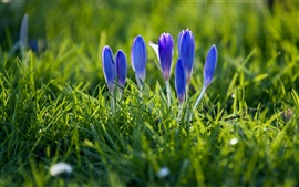 Preview wallpaper Crocuses, blue petals, buds, grass, spring