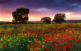England summer evening, fields, poppies, rape, trees